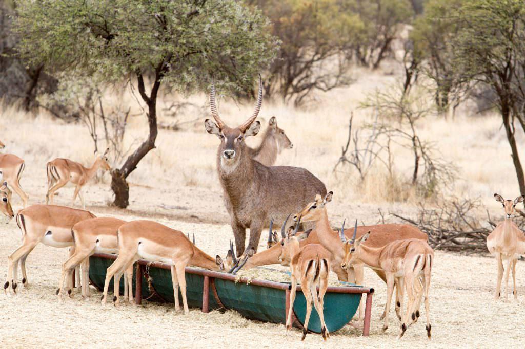amanzi private game reserve - Bokke 1 1024x682 - Amanzi Private Game Reserve
