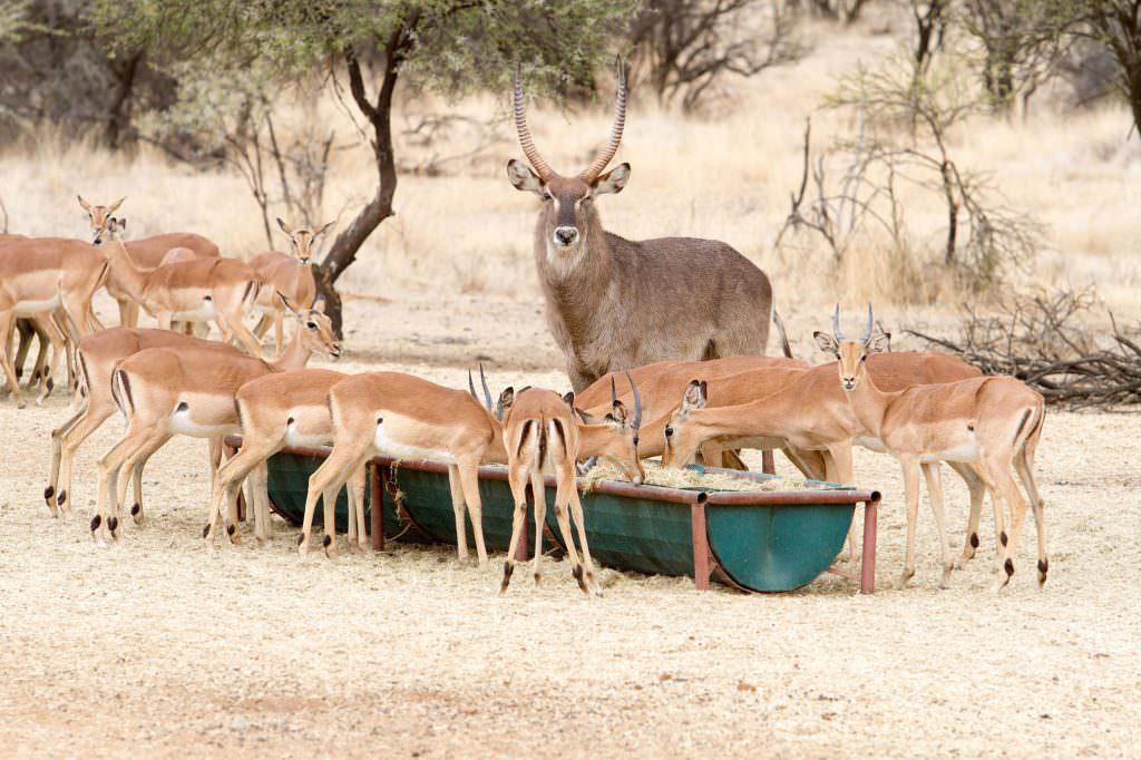 amanzi private game reserve - Bokke 3 1024x682 - Amanzi Private Game Reserve