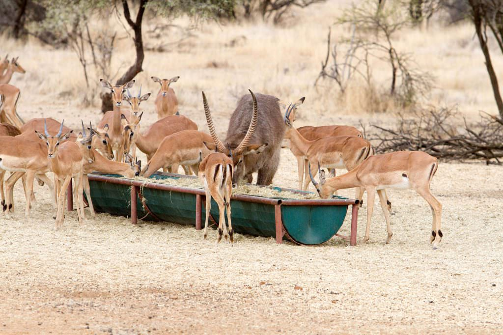 amanzi private game reserve - Bokke 4 1024x682 - Amanzi Private Game Reserve