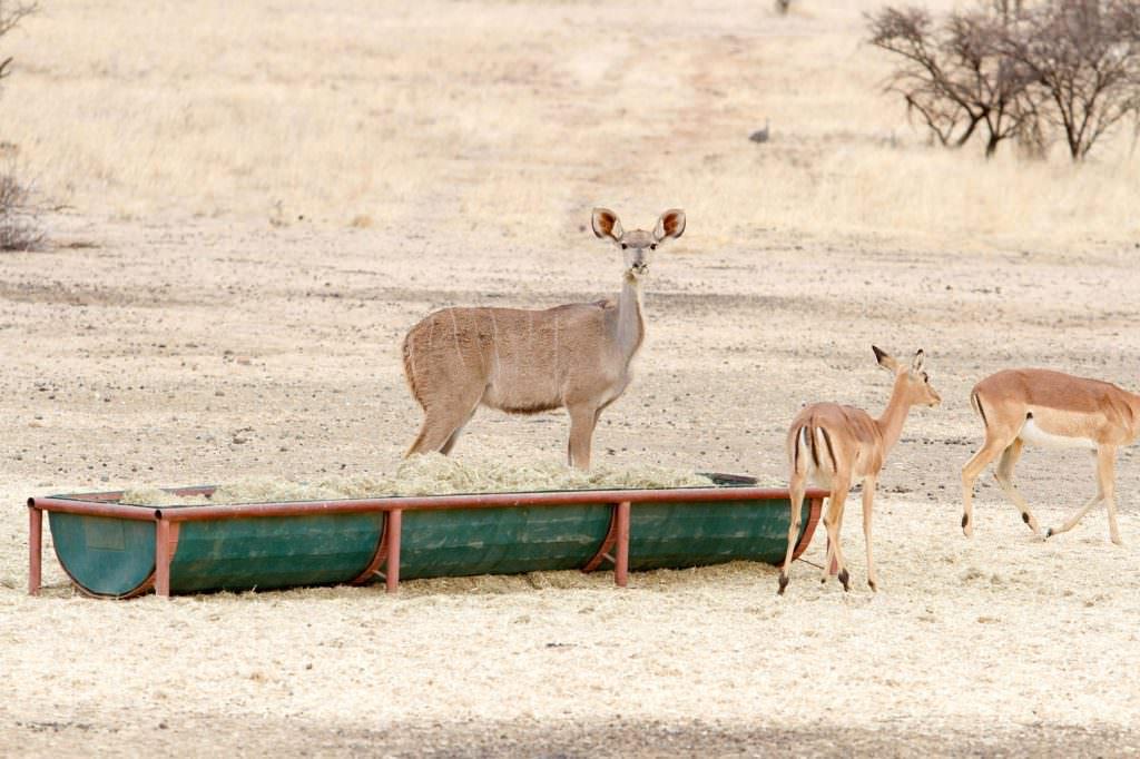 amanzi private game reserve - Bokke 8 1024x682 - Amanzi Private Game Reserve