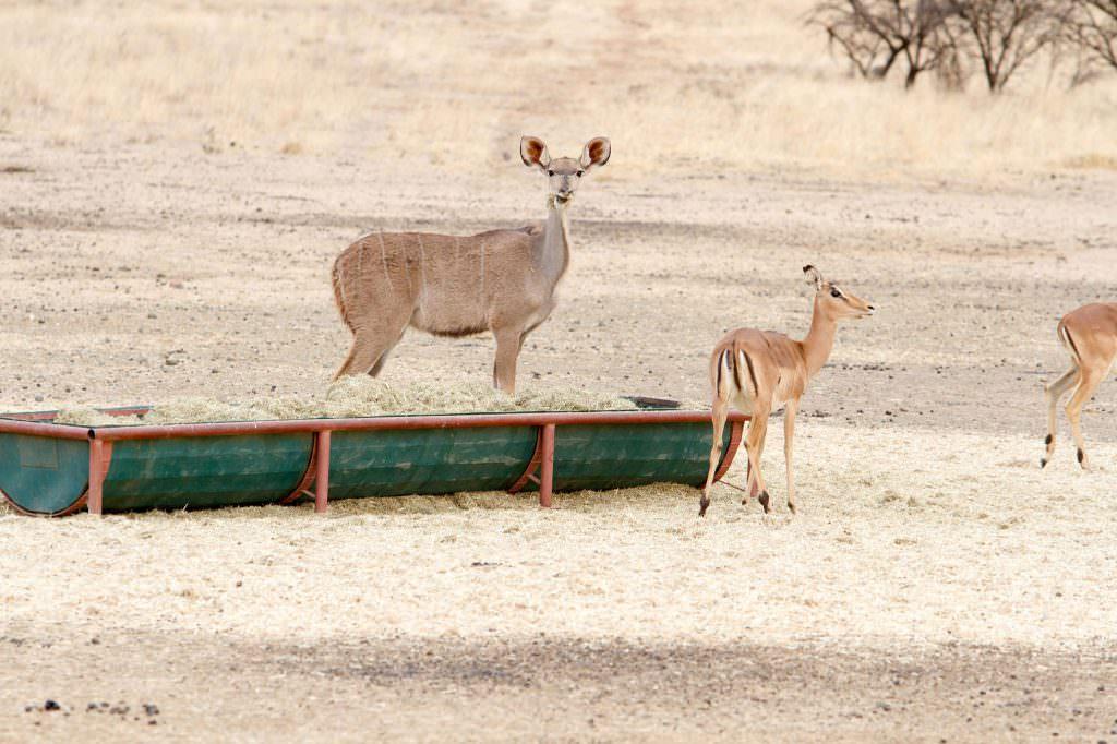 amanzi private game reserve - Bokke 9 1024x682 - Amanzi Private Game Reserve
